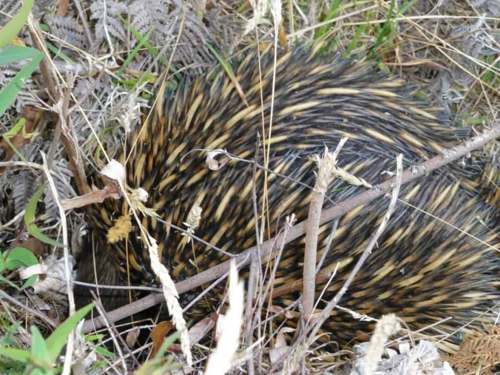 Echidna foraging for food in bushland near Jenolan Caves