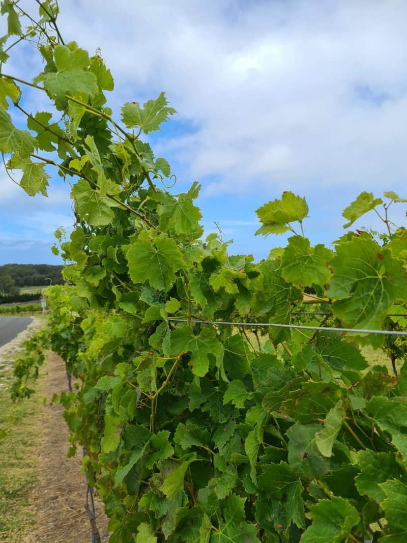 Row of grape vines at Mountain Ridge winery in Berry NSW