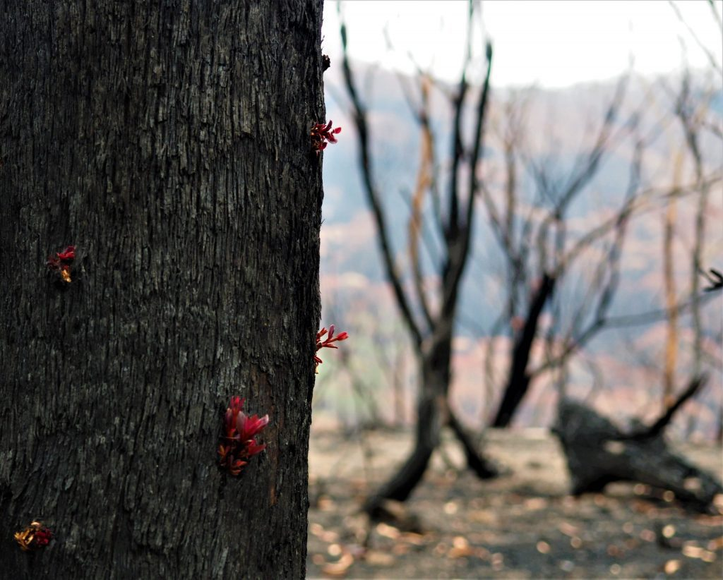 Buds emerging from the burnt trunk of a Eucalyptus tree after the 2020 Gospers Mountain Fire