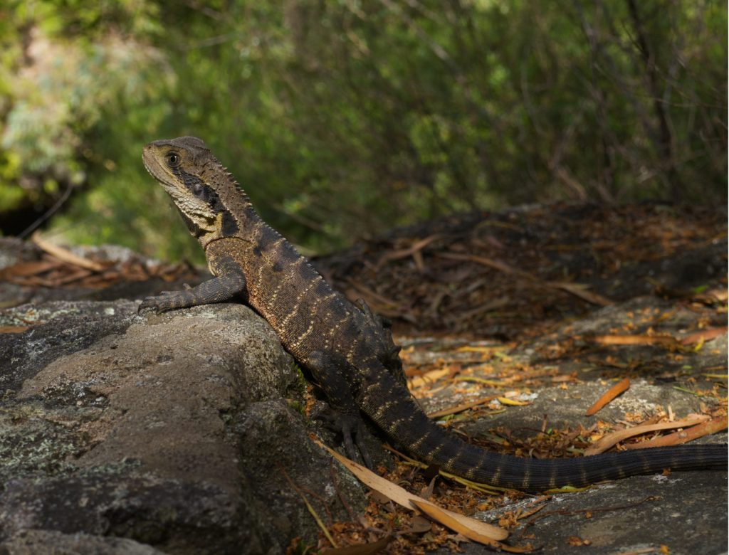 An Eastern Water Dragon basks in the sun on a rock in the Grand Canyon Blue Mountains