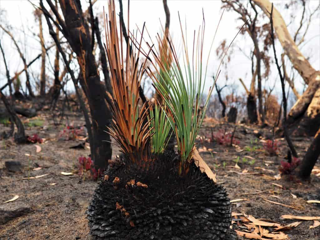Colour image of the regrowth of a Black Boy grass plant near Mount Wilson after the Grose Valley fire