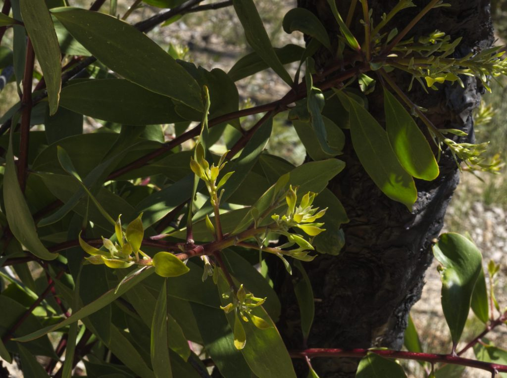 New growth on burnt trees in Mount Victoria in October 2020