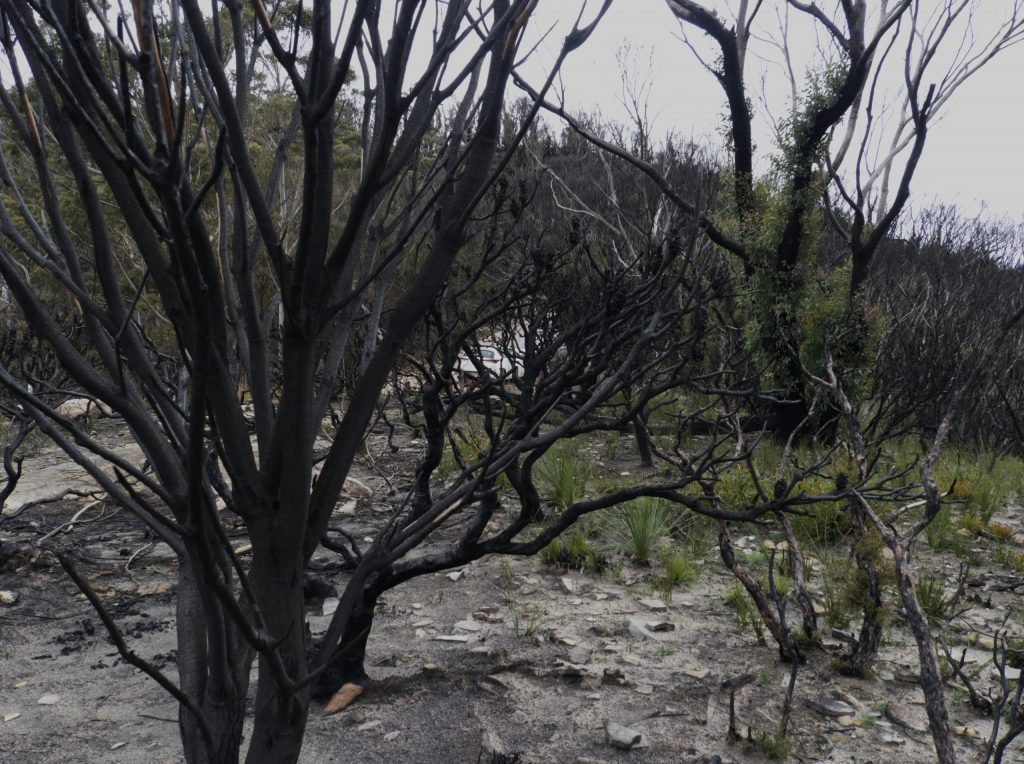 Burnt skeletons of trees with some regrowth behind on the narrowneck plateau after the Ruined Castle fire in 2019/2020