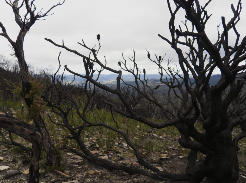 Burnt tree skeletons on the Narrowneck Plateau from the Ruined Castle fire in 2019/2020