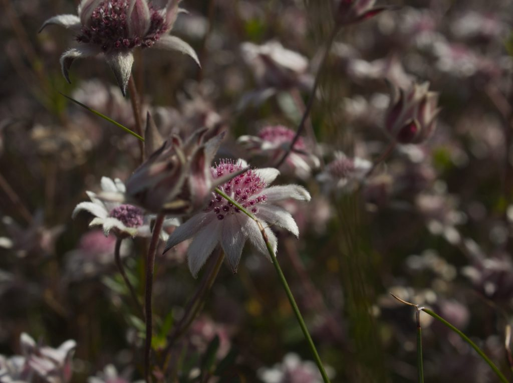 Macro image of group of rare Pink Flannel Flowers on track to Ikara Head