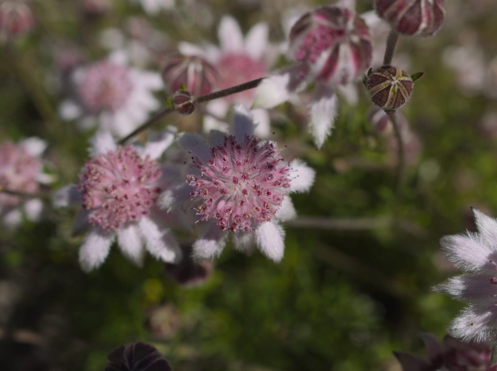 Macro image of Pink Flannel Flowers and buds on the Narrowneck Plateau blooming one year after the Ruined Castle fire