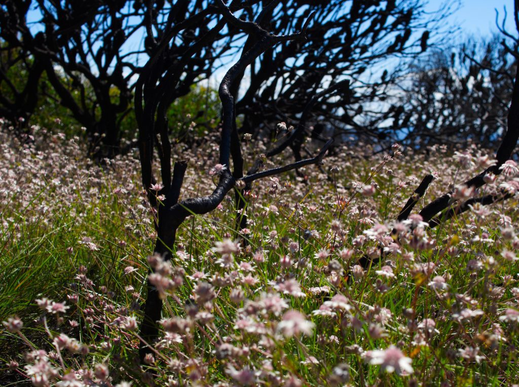 Pink Flannel Flowers blooming on Narrowneck Plateau a year after the Ruined Castle fire of 2019/2020