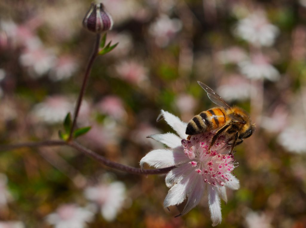 Macro image of honey bee on pink flannel flower on Narroneck Plateau a year after the Ruined Castle fire