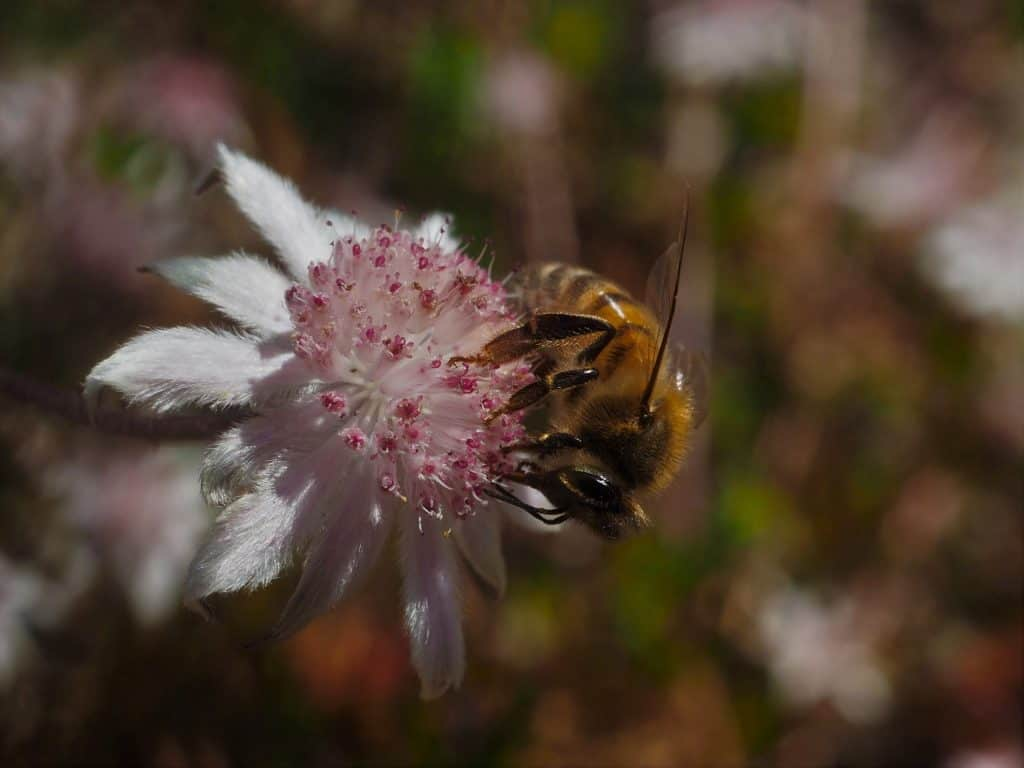 Macro image of honey bee drinking from Pink Flannel Flower on Narrowneck Plateau