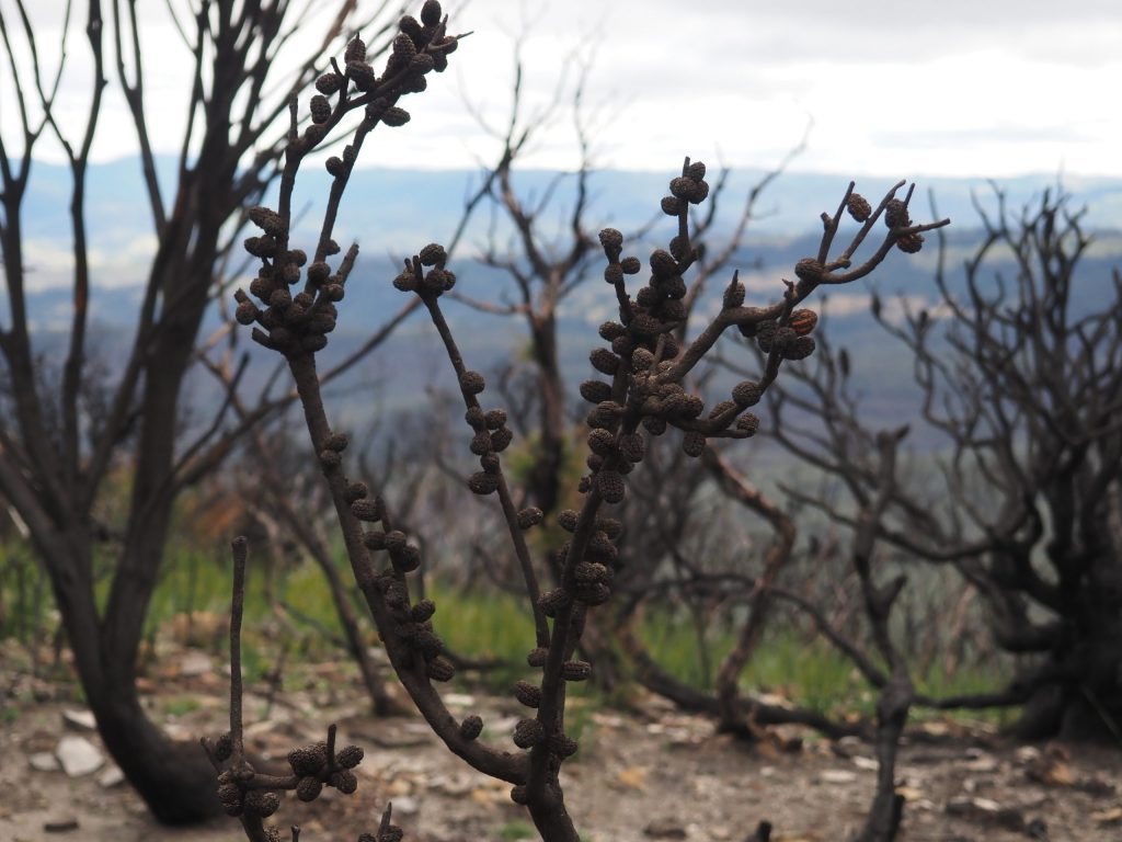 Close up image of burnt seed pods on Narrowneck Plateau after the Ruined Castle fire in 2019/2020