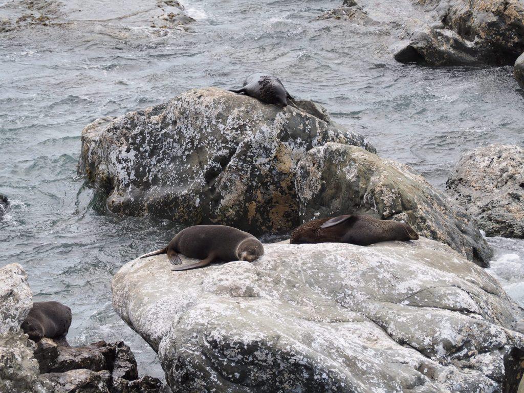 Group of seals on rocks at Kaikoura New Zealand