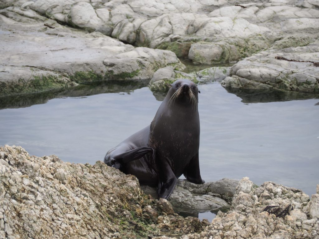 An inidvidual seal which has just emerged from the water poses on a rock at Kaikoura New Zealand