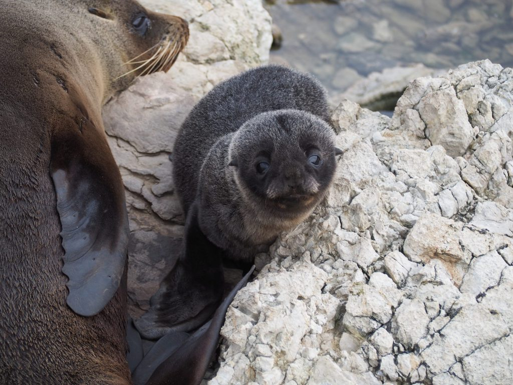A New Zealand Fur Seal pup beside its mother on the rocks at Kaikoura
